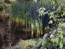 common reed vegetation