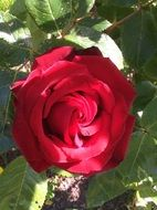 charming red garden rose