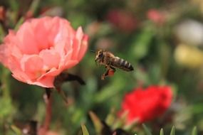 a bee flies over a pink flower