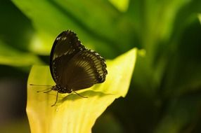 black butterfly on green leaf