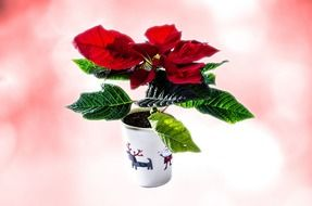 christmas vivid flower in the pot