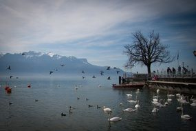 many birds on a lake in switzerland