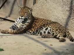 jaguar wildlife