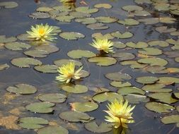Yellow water lilies in a pond