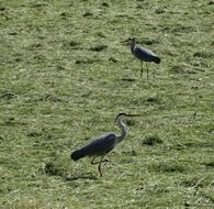 gray herons on polder
