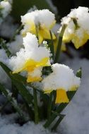 yellow daffodils under snow