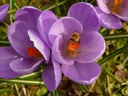 top view of a bee inside a purple crocus