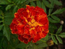 Turkish carnation is bright flower