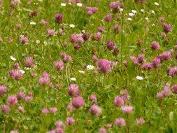 meadow of red clover