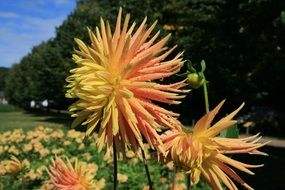 Red and yellow dahlia flowers in autumn