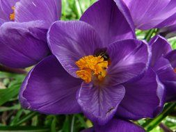 Purple crocus with a yellow pistil