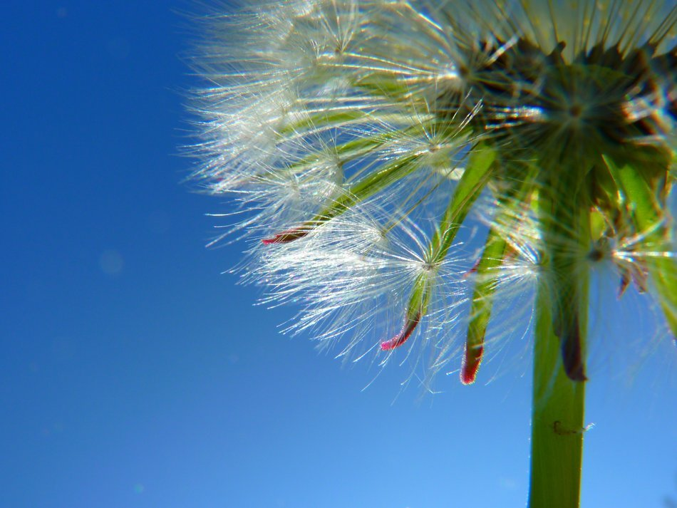 white fluffy dandelion closeup on a clear day
