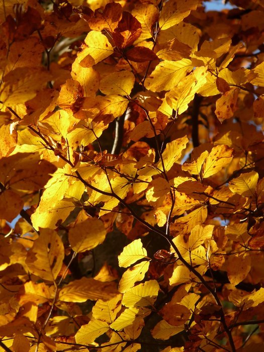 Autumn foliage of the European beech