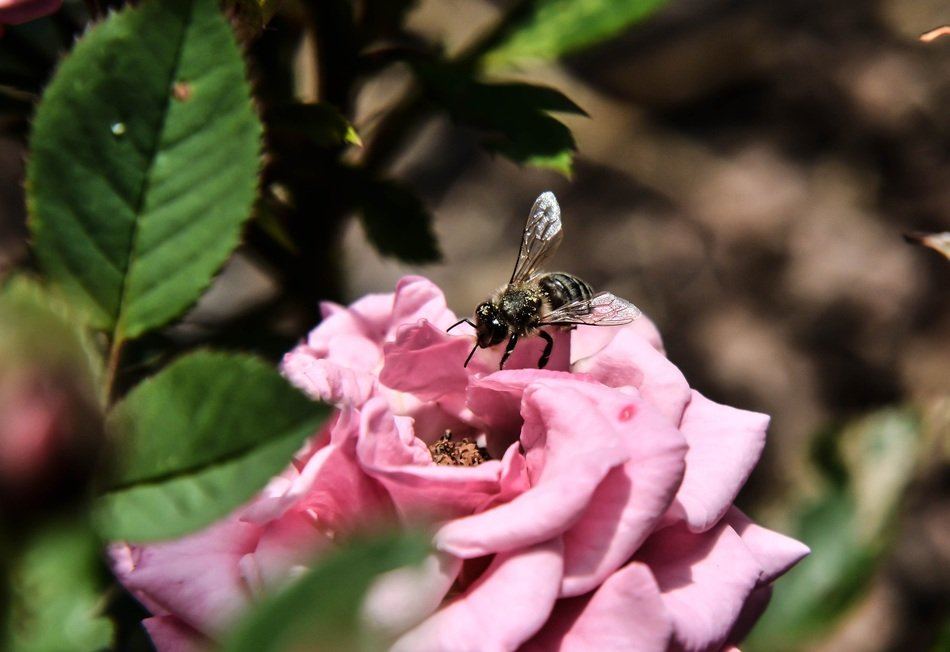 bee on a pink rose in the bright sun