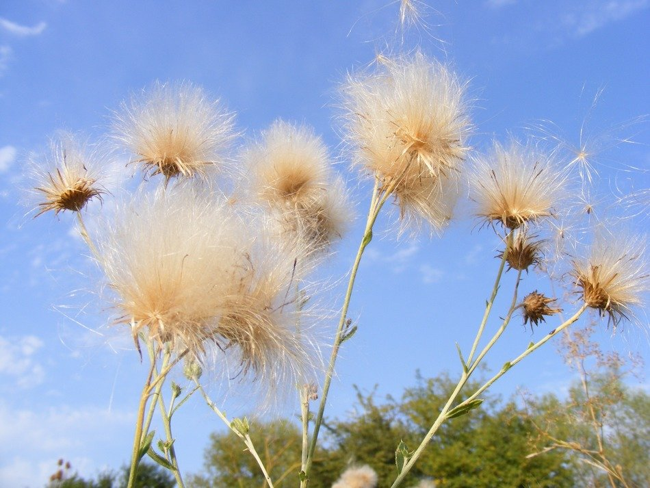 seeds of a dandelion against the sky