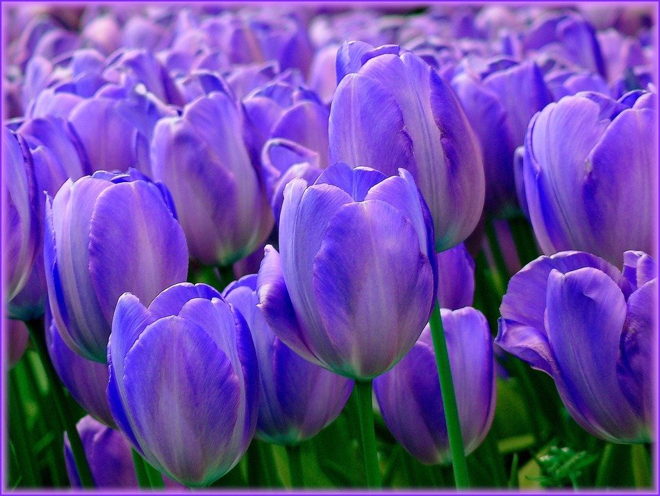 Glade of purple tulips