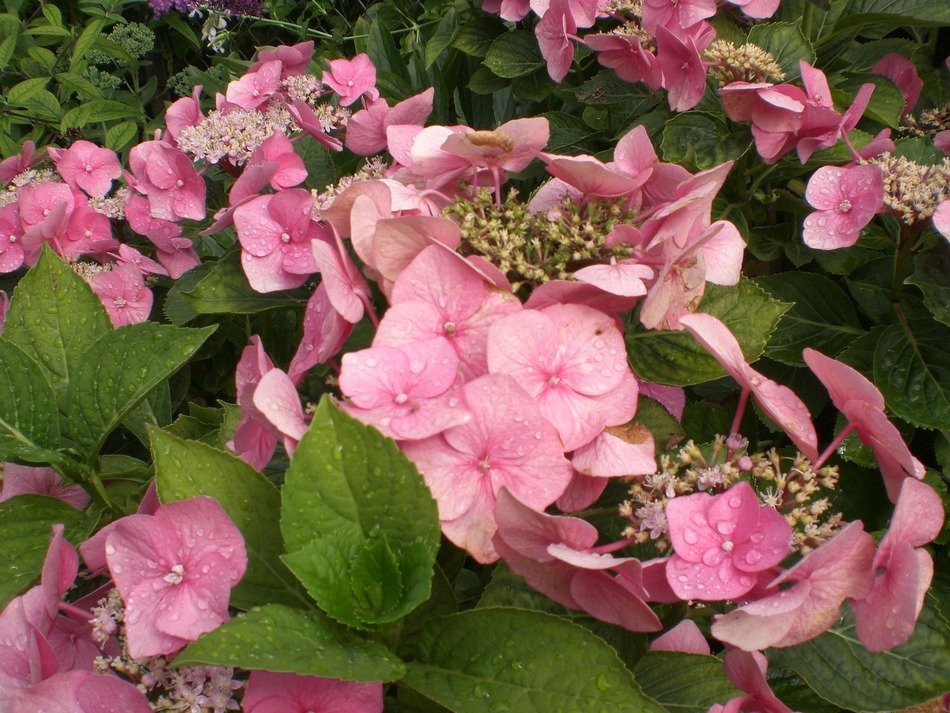 Hydrangea is an ornamental shrub