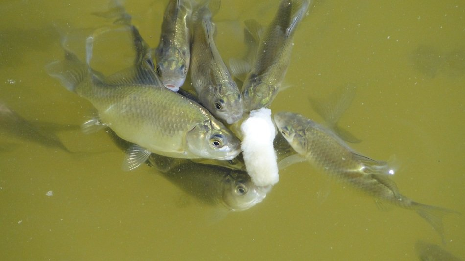 fish feeding in pond