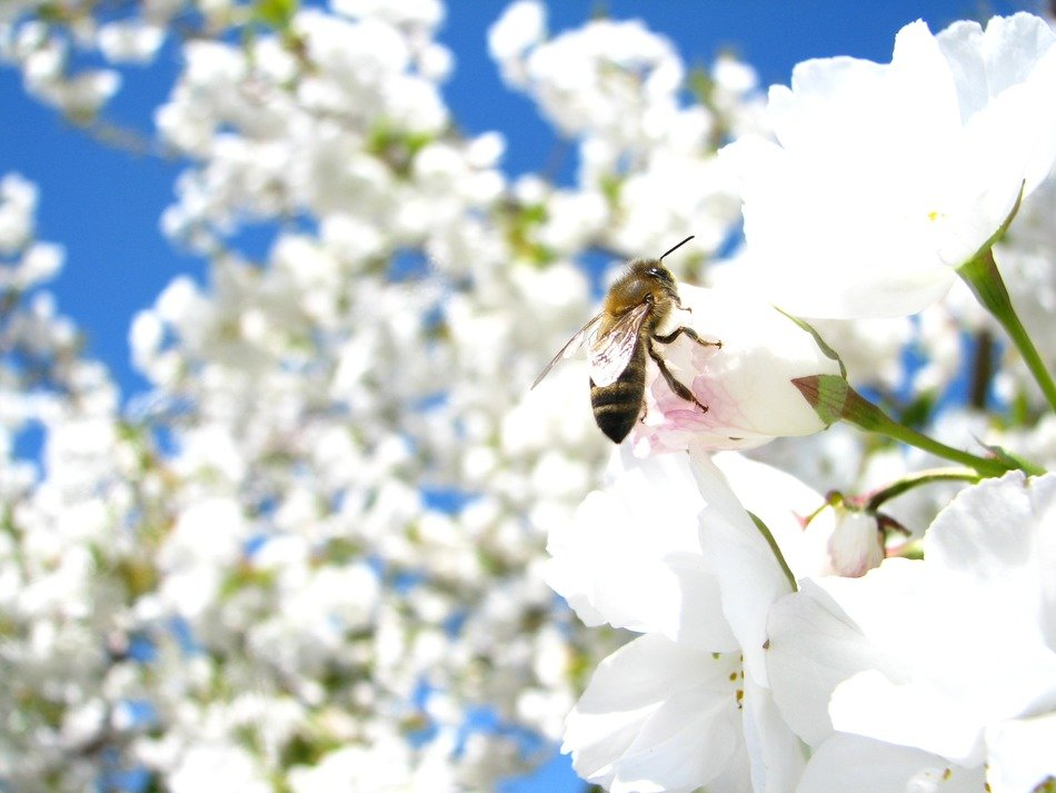 bee on white flowers of cherry