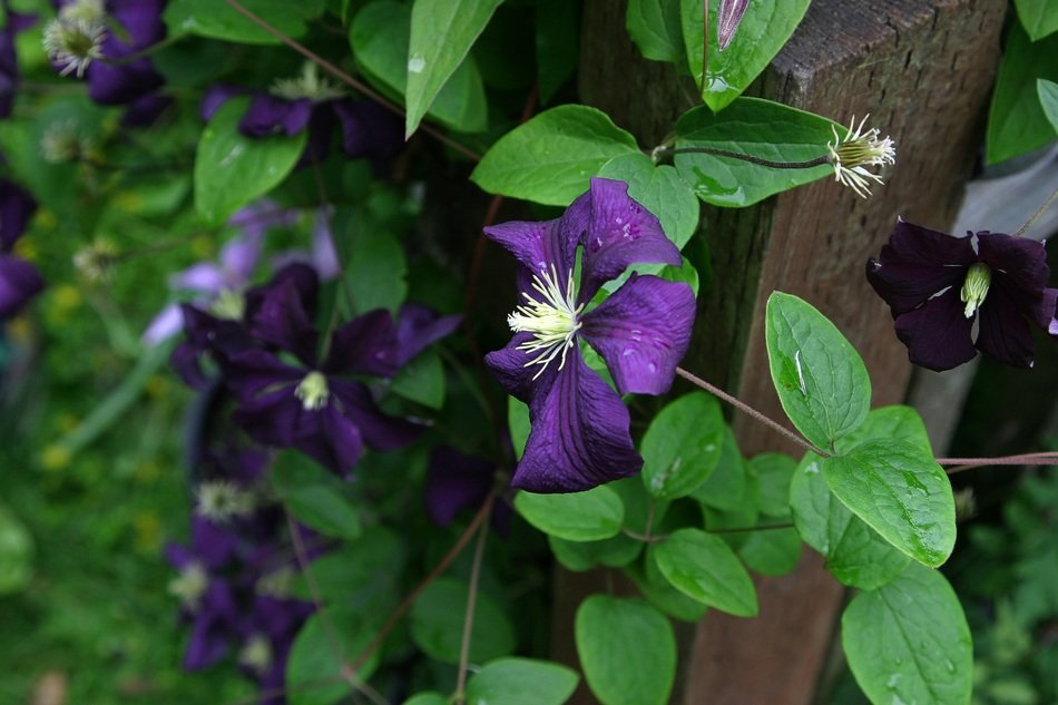 clematis is bright purple flowers