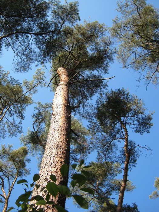 bottom view of pine trees with large crowns