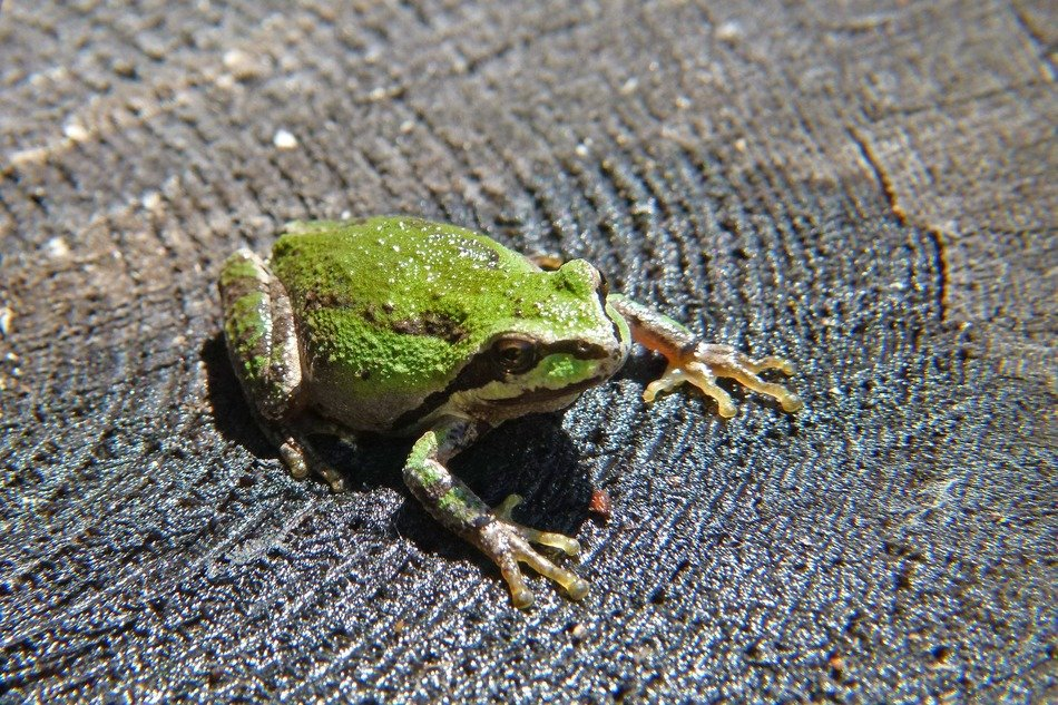 green frog on a wooden surface