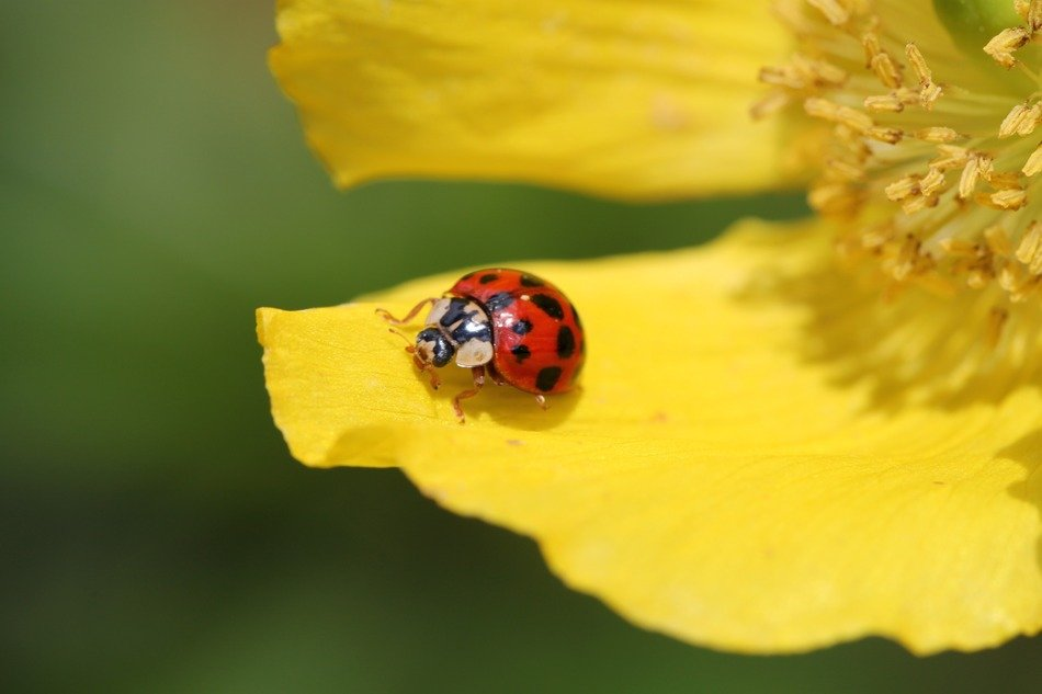 Ladybird on a yellow petal of a flower close up