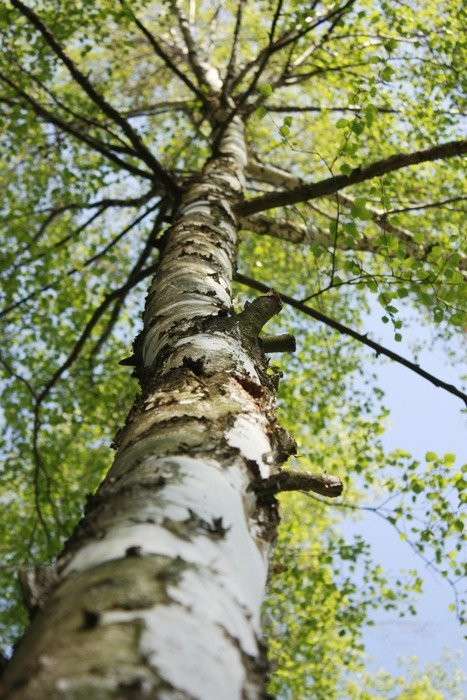 birch tree trunk, low angle view