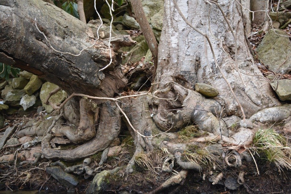 Ugly tree roots