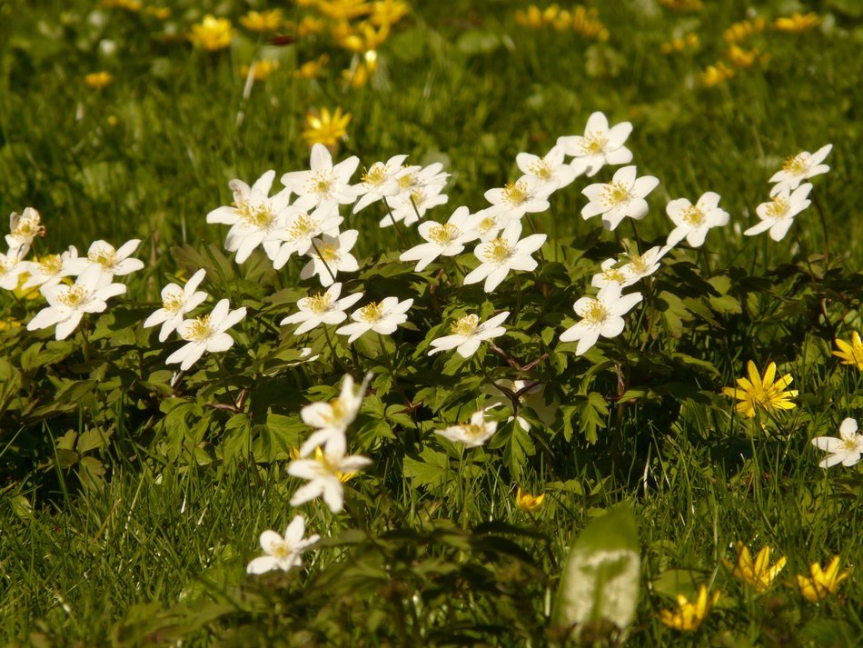 white anemones on the meadow
