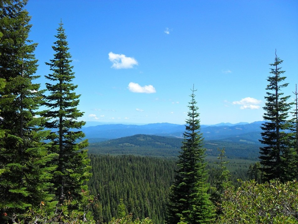panoramic view of green coniferous forest on a sunny day