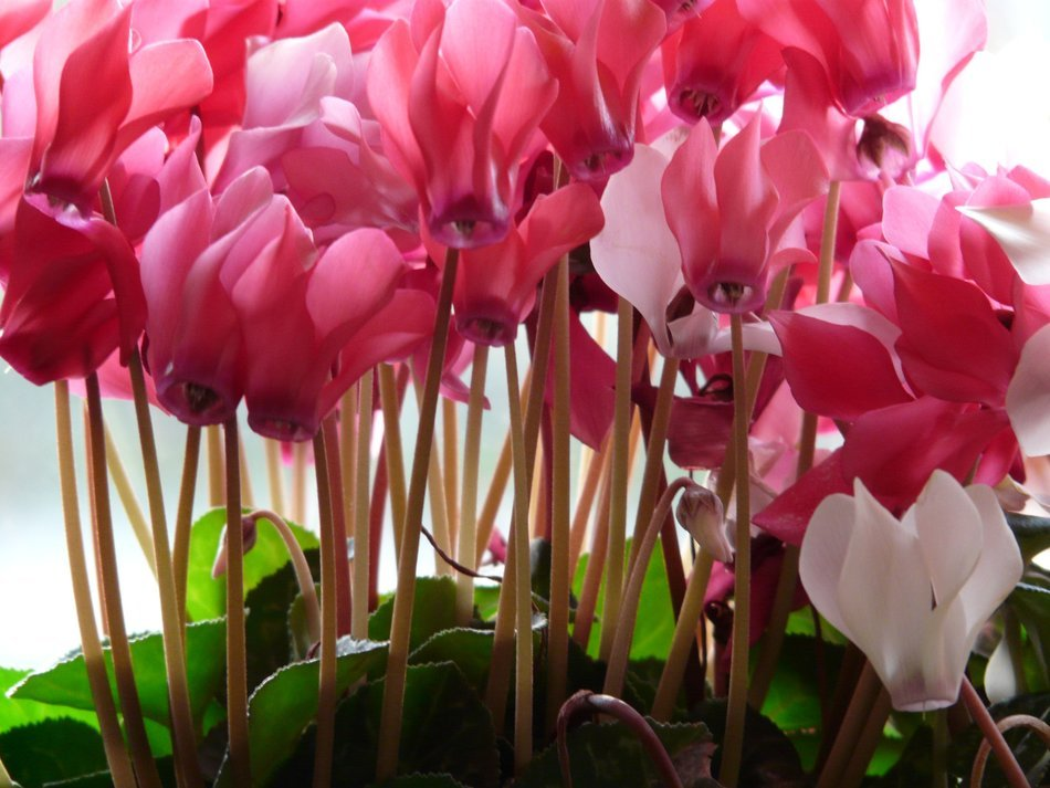 bottom view on the flowers cyclamen