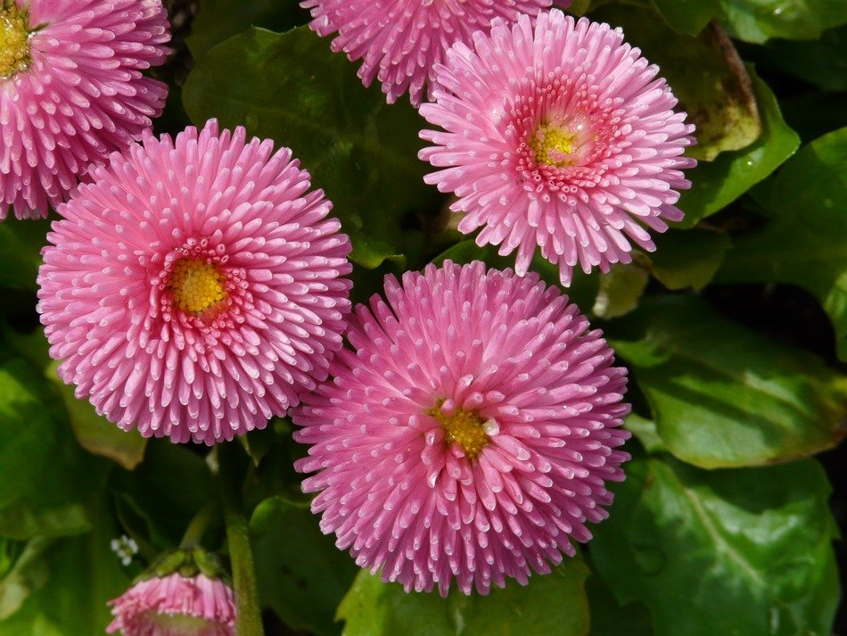 pink fluffy flowers among green leaves