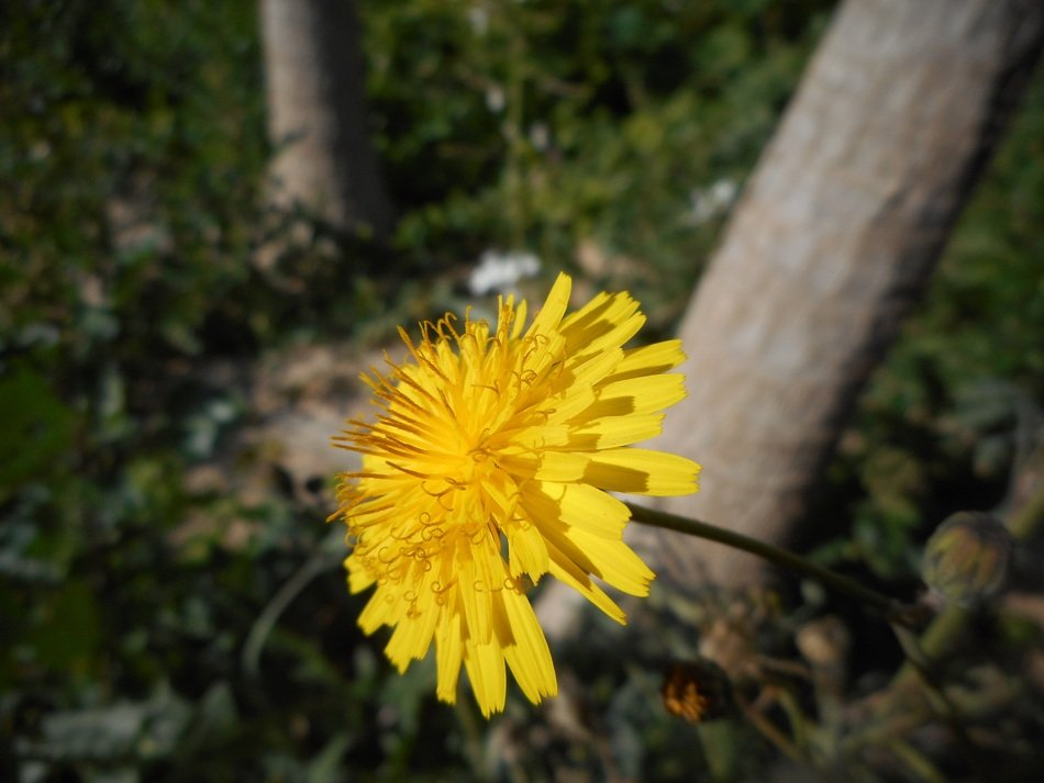 yellow common dandelion in a forest close-up on blurred background