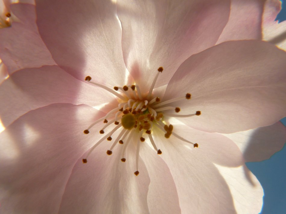 cherry flower in closeup
