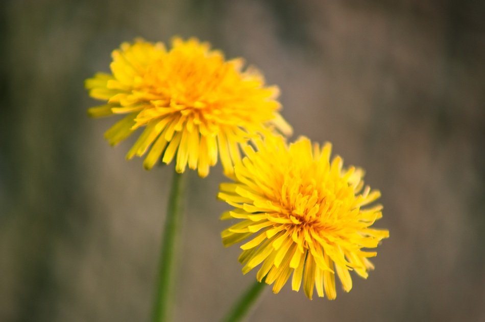 two yellow dandelions on the stems