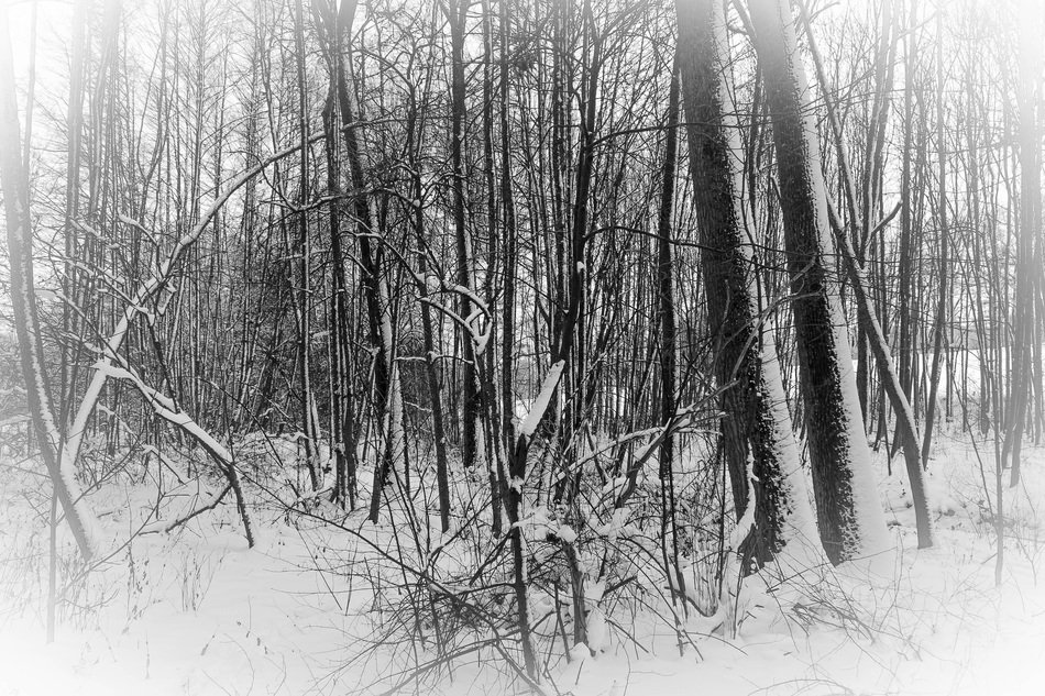 winter forest in snow in black and white image