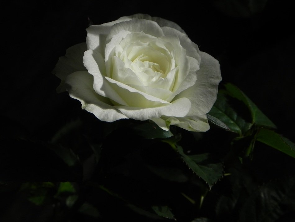 white rose in the dark