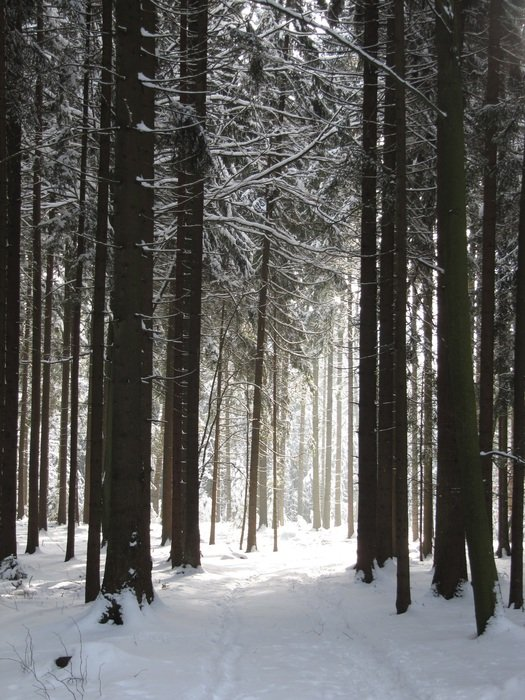 trees in a winter forest with snow