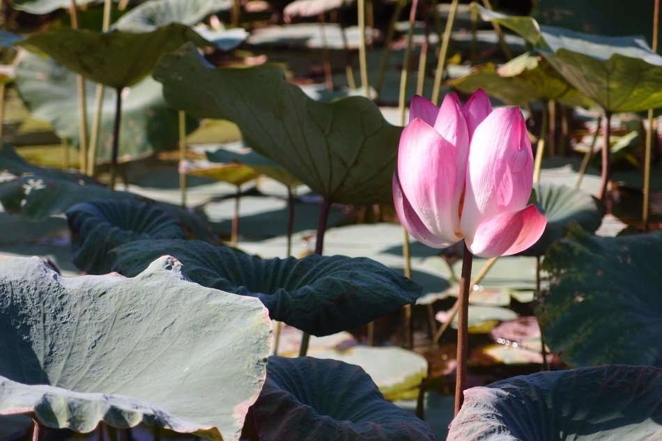 pink lotus on the pond with green leaves