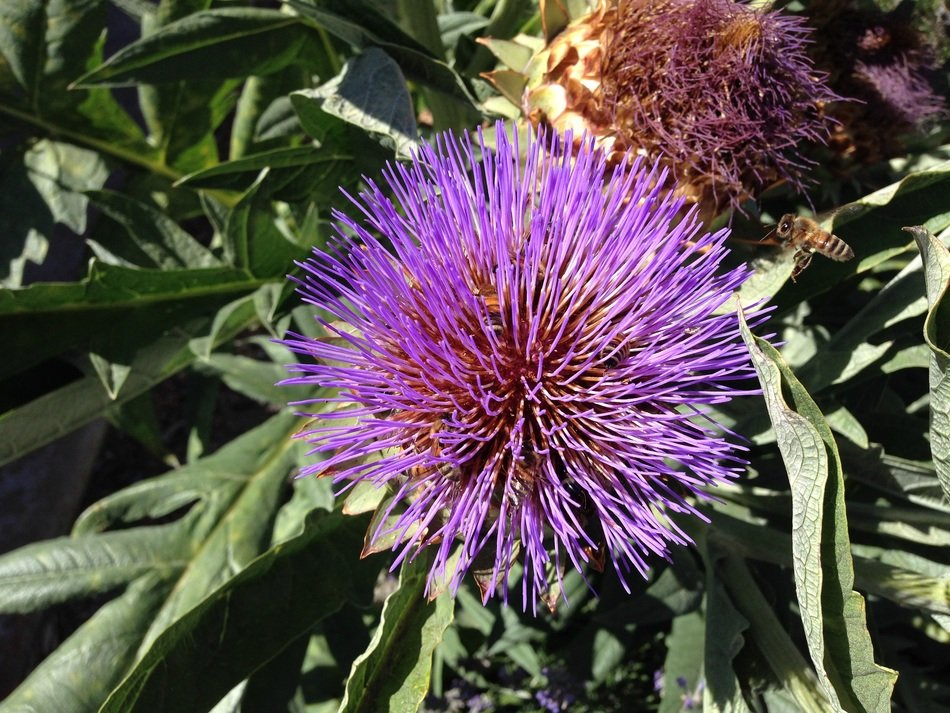 artichoke flower closeup