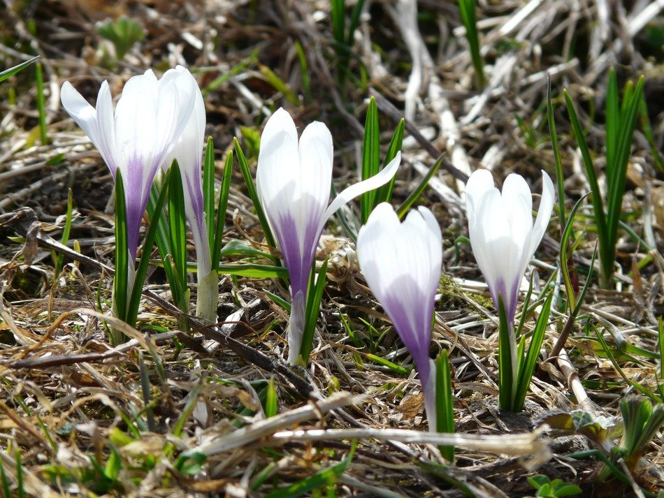 flowering alpine crocus in spring