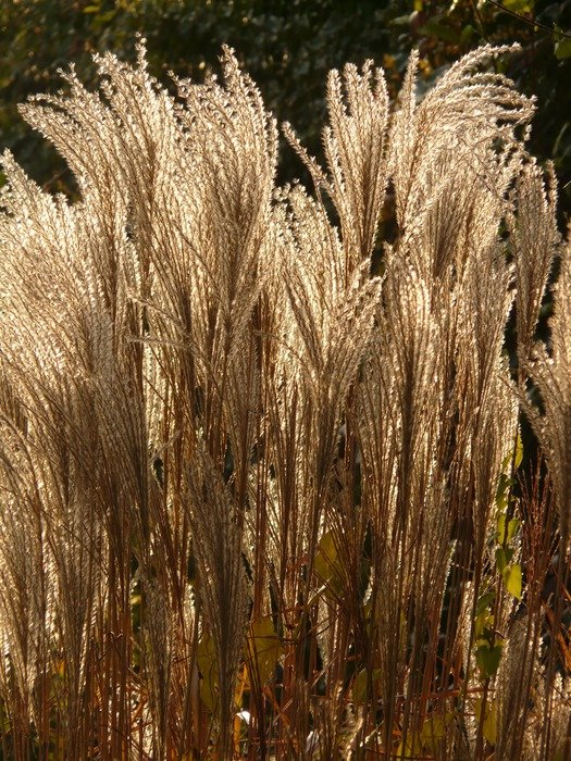 Miscanthus is a type of reed