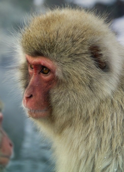 japanese monkey macaque