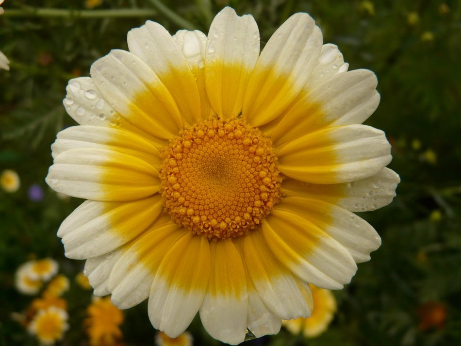 flower with a yellow core and white petals