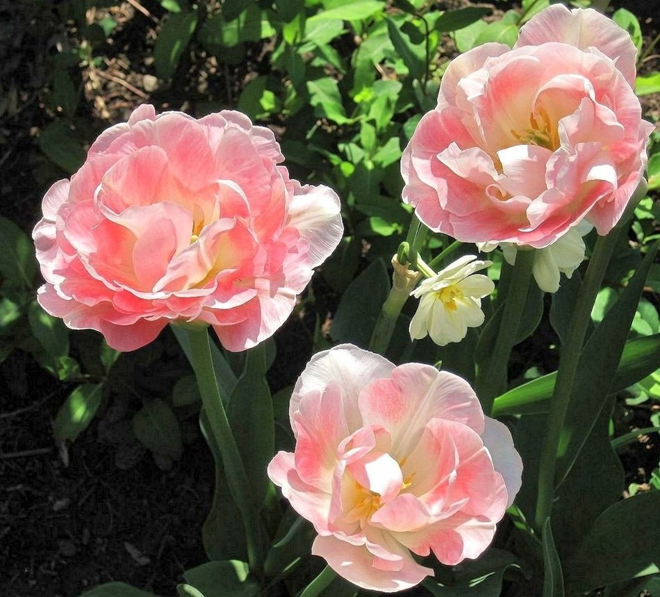 pink double tulips and white daffodils on garden bed