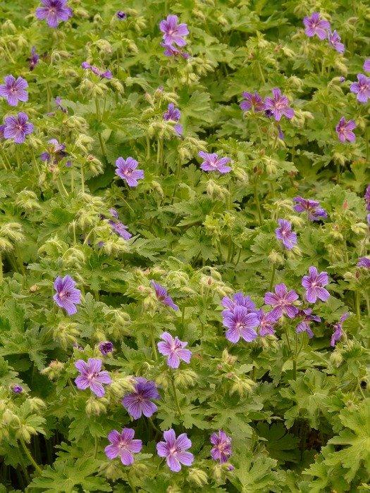glade of the purple geranium