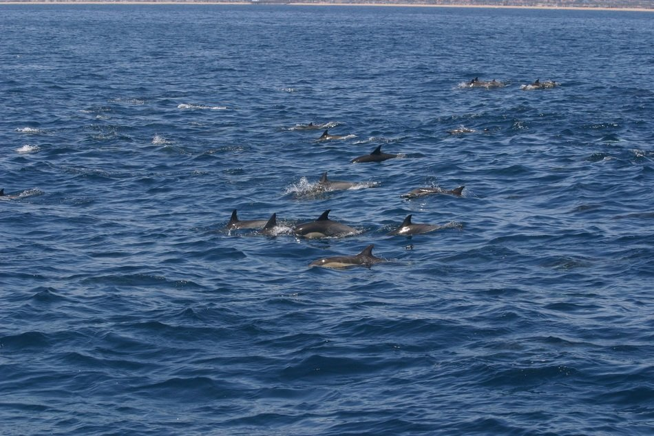flock of dolphins in the waters of California