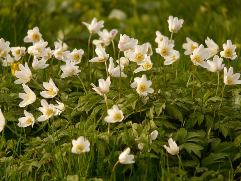 white anemone flowers in the grass