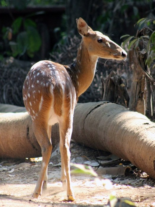 deer in the national park in India